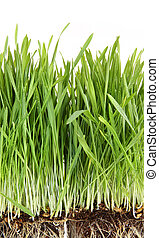 Closeup of wheatgrass on white background