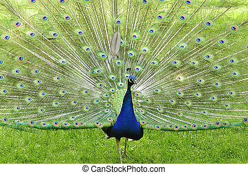 peacock - a peacock in the park, close up