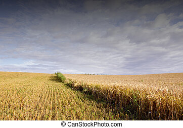Agricultural field of wheat and rye.
