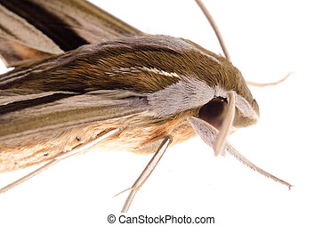 insect moth isolated