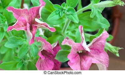 Blossom petunia. - Petunia flower blossoms. Timelapse.