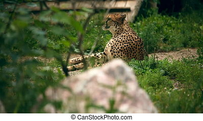 Cheetah. - Cheetah lying in grass. Novosibirsk Zoo