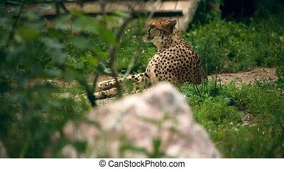 Cheetah. - Cheetah lying in grass. Novosibirsk Zoo