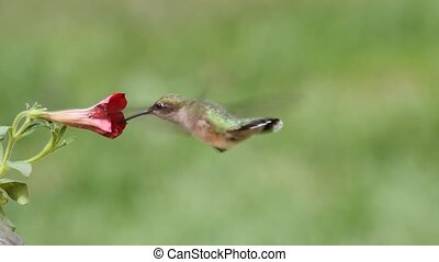 Ruby-throated Hummingbird archilochus colubris in flight at...