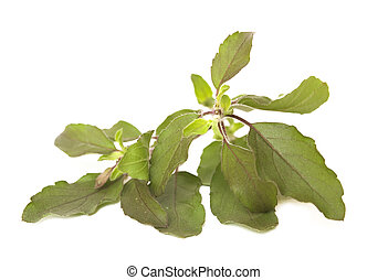 Sprig of Holy Basil Isolated - Sprig of Holy Basil Tulasi...