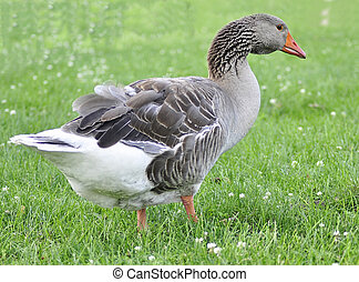 wild goose - a wild goose walking  in the park