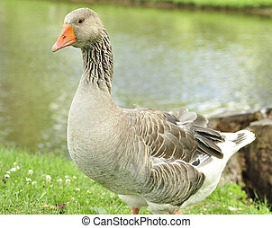 wild goose - a wild goose in the park by lake