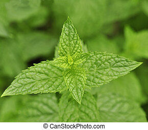peppermint - mint in the garden , close up