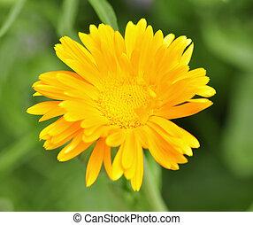 calendula - yellow calendula blossom , close up