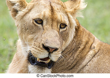African lioness in the Ngotongoro crater, Tanzania