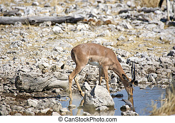 Mal impala is drinking at the water hole - Male impala is...
