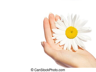Woman's, hands, daisy, isolated, white
