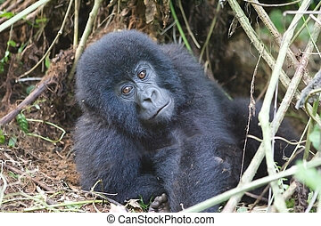 Young mountain gorilla in deep forest - Young mountain...