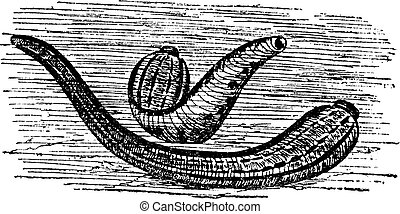 Leeches vintage engraving