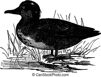Common Teal or Anas crecca vintage engraving