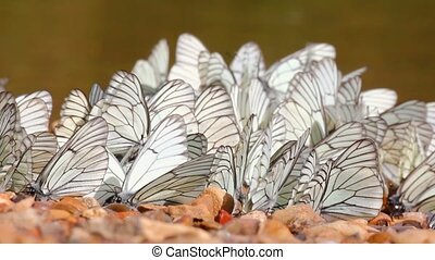 many white butterflies on river beach - aporia crataegi