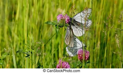 white butterfly on clover flowers  - aporia crataegi