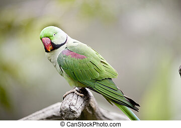 Alexandrine Parakeet (Psittacula eupatria) Perched on a tree...