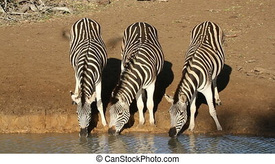 Plains Zebras drinking - Plains (Burchell's) Zebras (Equus...