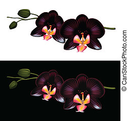 Black orchid isolated on a white and black background....