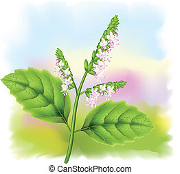 Plant patchouli (Pogostemon cablini). Vector illustration on...