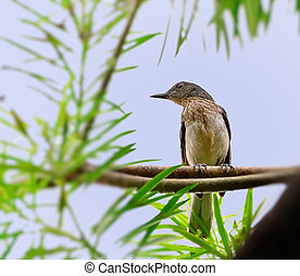 Oriental Magpie Robin juvenile perched on a tree branch with...
