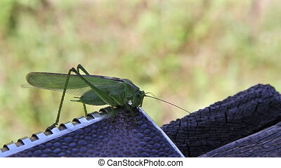 Omnivorous locust - locust sits on a steel object and chews...