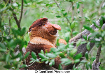 proboscis monkey long nosed - long nosed in bako national...