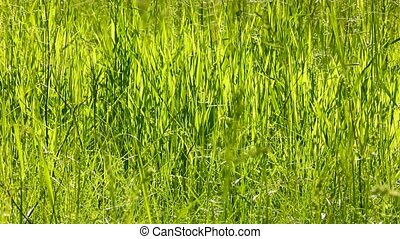 tall green grass background