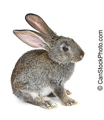 gray rabbit isolated on white background