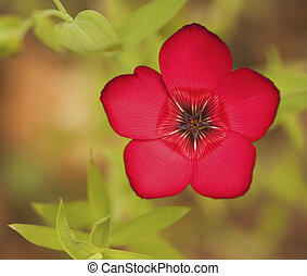 Vibrant deep red wild flower with shallow depth of field