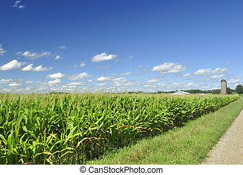 corn field and a  blue sky