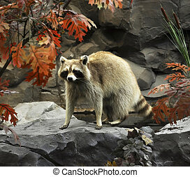 raccoon on a stone