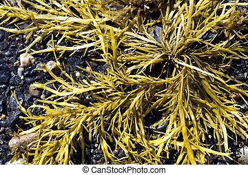 marrón, algas,  fucus