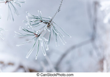 Frozen needles - Twig of conifer with frost on the needles