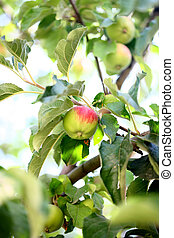 apple tree - trained in the new branch of apple tree apple...