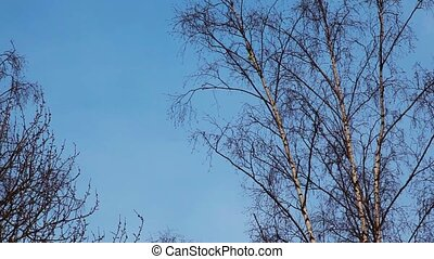 Chinese lantern rises in sky behind high birches - Yellow...