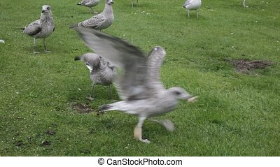 Seagulls squabbling for food - Seagulls squabbling for bread...