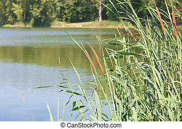 Cattails and reeds in a pond - Green bank of a lake with...