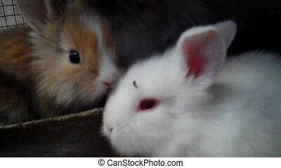 Rabbits - Two white fuzzy lop rabbits are in hutch