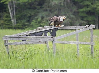 A bald eagle spreading its wings on a duck blind - A bald...