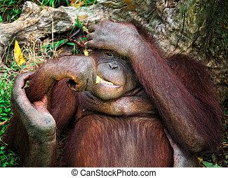 orangutang portrait