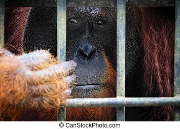 orangutang in cage - orangutang in Kubah National Park...