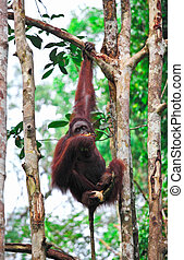 orangutanf in rainforest - orangutang in Semenggoh Wildlife...