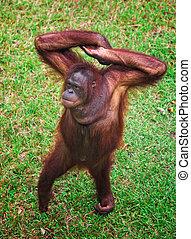 orangutang portrait - orangutang in Kubah National Park...