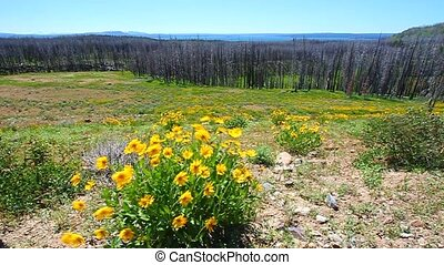 Yellowstone National Park - Yellow wildflowers sway in the...