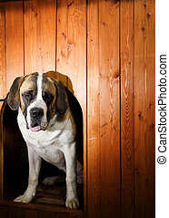 Beautiful St. Bernard dog in a doghouse