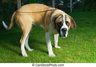 Beautiful St Bernard dog on a green grass