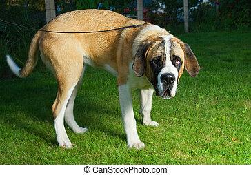 Beautiful St. Bernard dog on a green grass