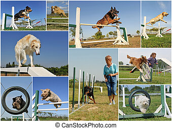 Agility - composite picture with purebred dogs in training...